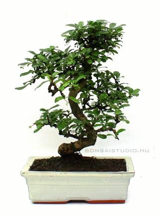 Carmona macrophylla- Borágófa, karmóna 25S