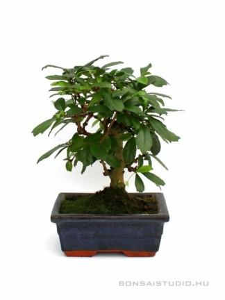 Carmona macrophylla- Borágófa, karmóna 15B (15 cm-es tálban)