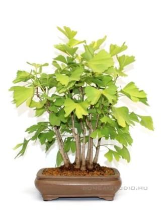 Ginkgo biloba bonsai 1.