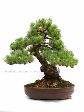 Pinus parviflora 09.