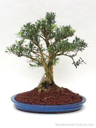 Buxus harlandii 04.