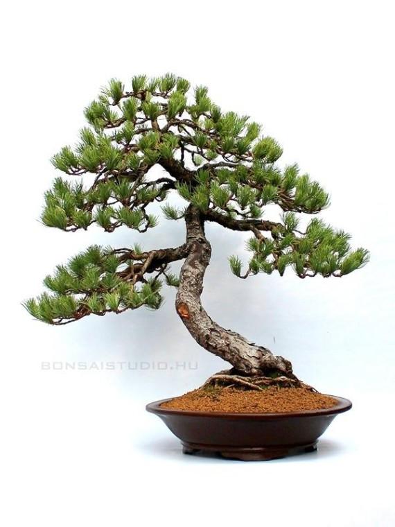 Pinus parviflora, moyogi - 60cm-es bonsai