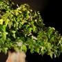 Acer buergerianum 40 cm-es bonsai