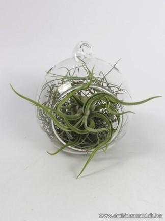 Tillandsia caput-medusae üveggömbben