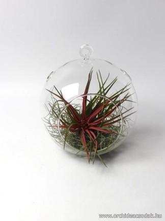 Tillandsia velutina üveggömbben