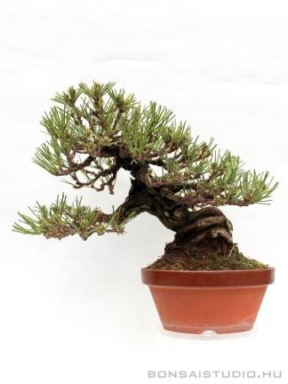 Pinus thunbergii 26 cm-es han kengai bonsai