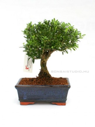 Buxus harlandii - Hongkongi szoba puszpáng 15 B (15 cm - es tálban)