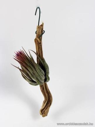 Tillandsia ionantha scaposa XL