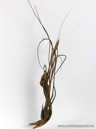 Tillandsia butzii virágzó