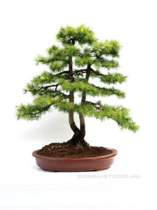 Larix decidua bonsai