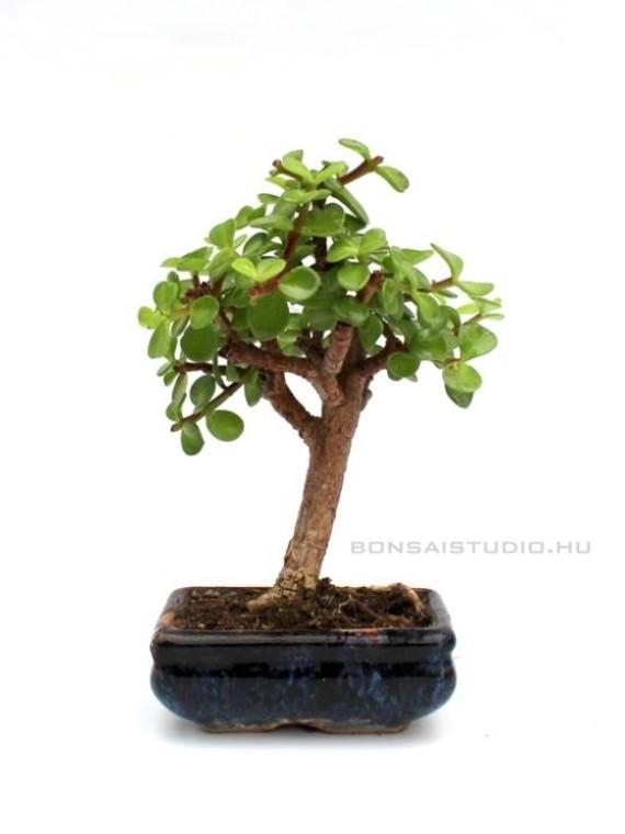 Portulacaria afra bonsai 10B (10cm-es tálban)