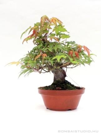Japán juhar bonsai előanyag 01.