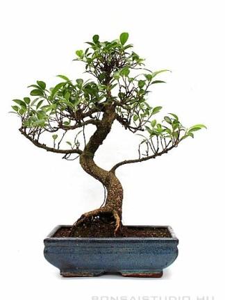 Ficus retusa - Gumifa bonsai 25S
