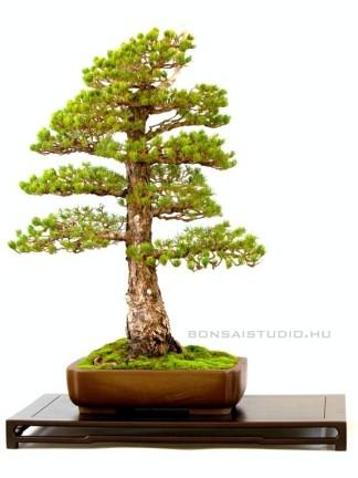 Pinus parviflora 'Kokonoe' bonsai régi japán stílusban