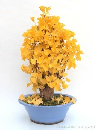 Ginkgo biloba bonsai előanyag 01.