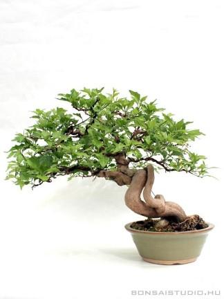 Premna japonica bonsai 02.