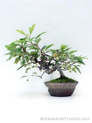 Malus micromalus shohin bonsai