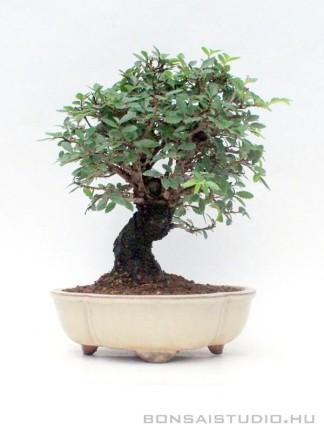 Zelkova nire bonsai 03.