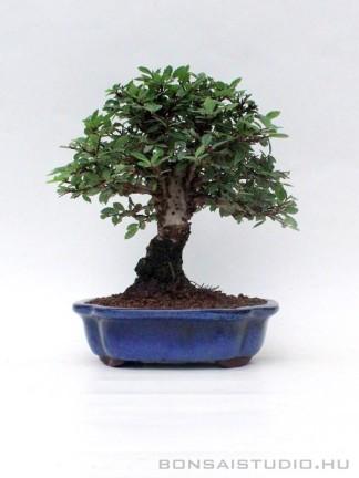 Zelkova nire bonsai 04.