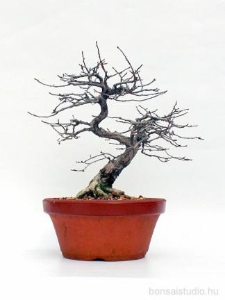 Carpinus coreana shohin pre bonsai