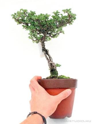 Chaenomeles japonica shohin pre bonsai 02.