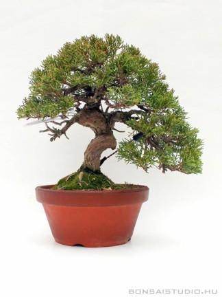 Juniperus chinensis 'Itoigawa' - boróka bonsai előanyag japán bonsai nevelő konténerben 01.