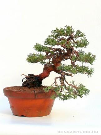 Juniperus chinensis 'Itoigawa' - boróka bonsai előanyag japán bonsai nevelő konténerben 02.
