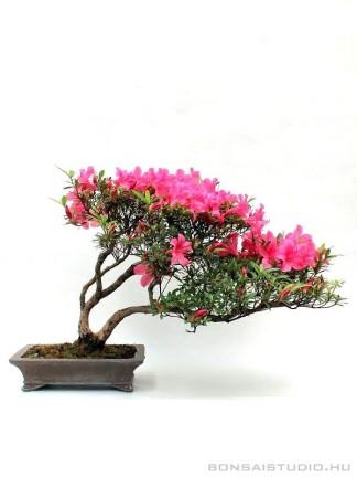 Rhododendron indicum 'Kinsai' - több törzsű bonsai