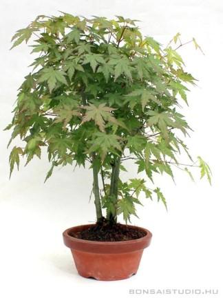 Acer palmatum pre bonsai - yose ue bonsai stílusban