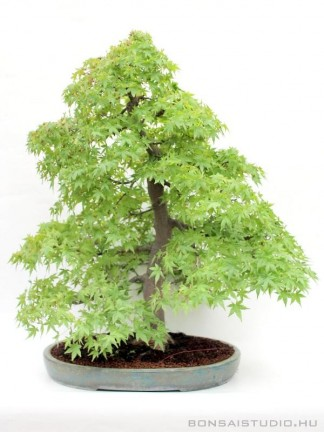 Acer palmatum - Japán juhar bonsai - 79cm