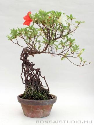 Rhododendron indicum pre bonsai 04.
