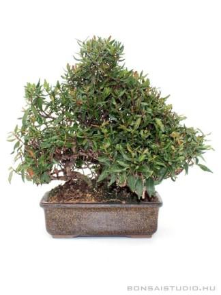 Trachelospermum  sp. shohin bonsai 01.
