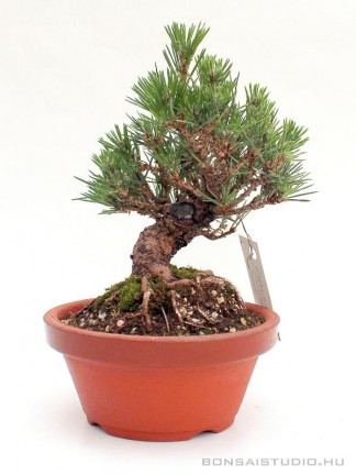 Pinus thunbergii shohin bonsai 06.