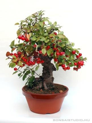Malus halliana pre bonsai 09.