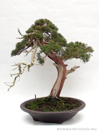 Juniperus chinensis - bunjin bonsai 01.