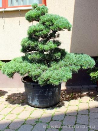 Pinus parviflora niwaki 02.