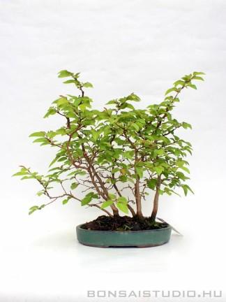 Carpinus coreana yose ue shohin bonsai 01.