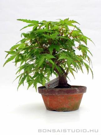Japán juhar bonsai előanyag 05.