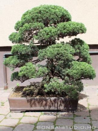 Juniperus chinensis niwaki 01.