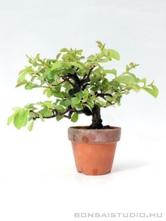 Chaenomeles sinensis shohin bonsai 01.