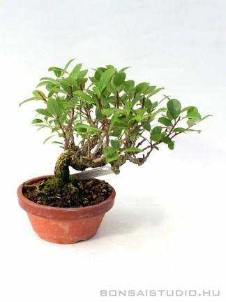 Celastrus orbiculatus shohin bonsai 03.