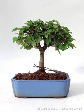 Zelkova serrata shohin bonsai 05.