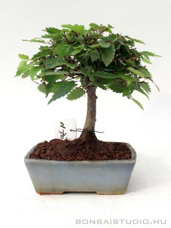 Zelkova serrata shohin bonsai 07.