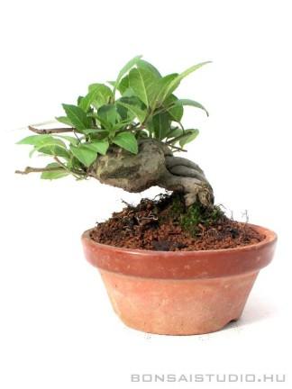 Ilex serrata shohin bonsai 05.