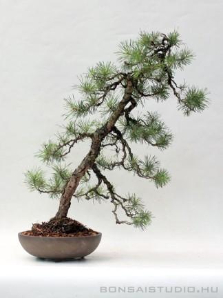 Bunjin Pinus sylvestris bonsai 15.