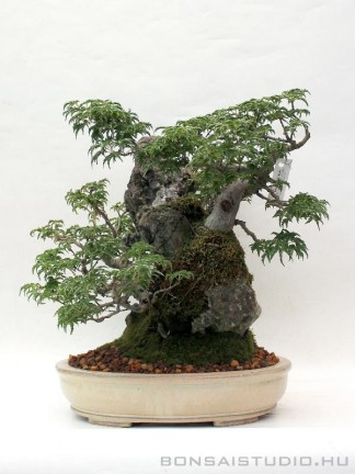 Acer palmatum shishigashira bonsai ibigawa kövön