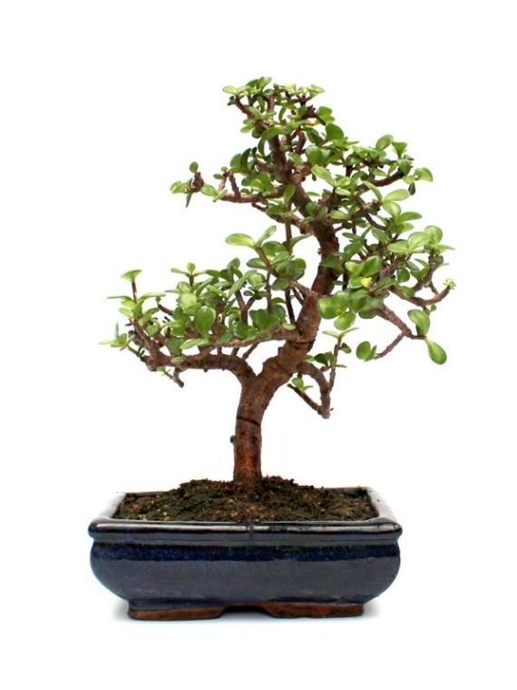 Portulacaria afra - Hajlított törzsű  bonsai - S
