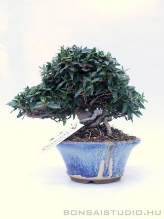 Trachelospermum jasminoides shohin bonsai 06.