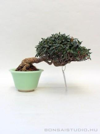 Trachelospermum jasminoides shohin bonsai 07.