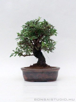 Zelkova nire bonsai 07.